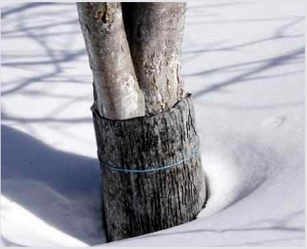 плодовые деревья готовим к зиме
