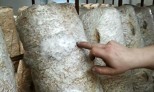 проращивание мицелия вешенок