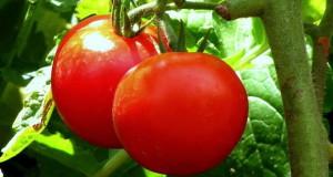 удаление пасынков у помидор