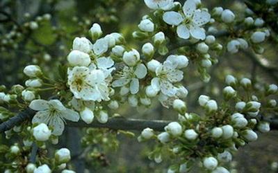 алыча цветение