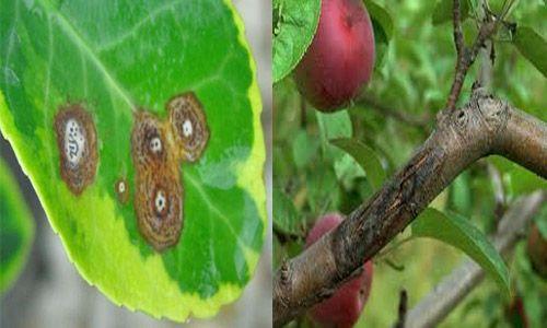 антракноз яблони