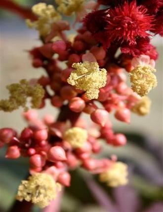 цветение клещевины