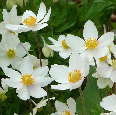 цветок анемон