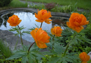 цветок купальница