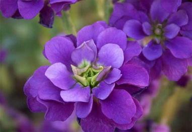 цветок маттиола