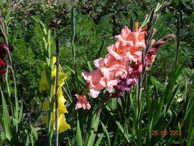 гладиолусы и чеснок