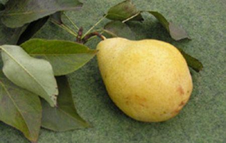 груша Чижовская