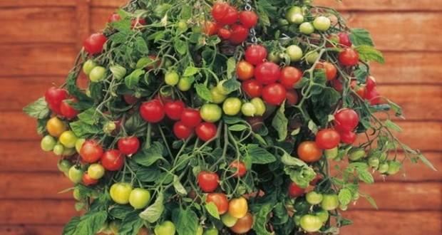как вырастить дама помидоры