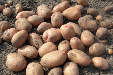 картофель Глория