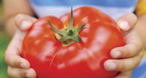 крупные сорта помидор