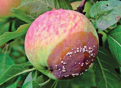 монилиоз яблони