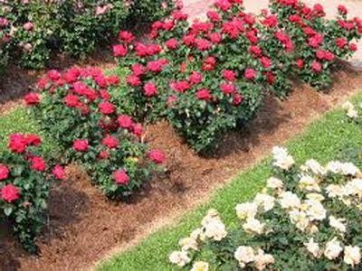 мульчирование розы