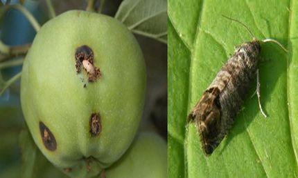 плодожорка яблони