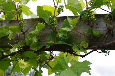 полив винограда при формировании почек