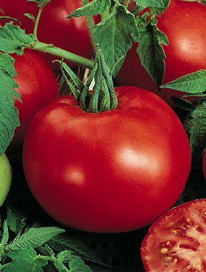 помидор сорт Джина