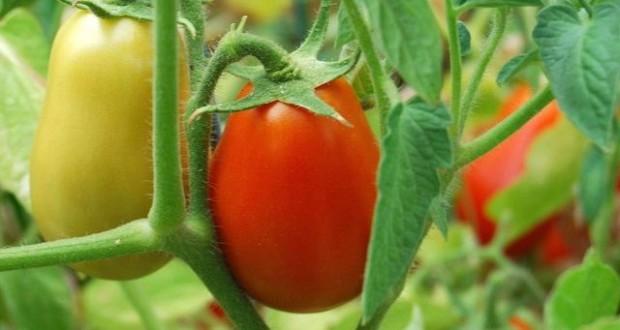 помидоры ранние сорта низкорослые