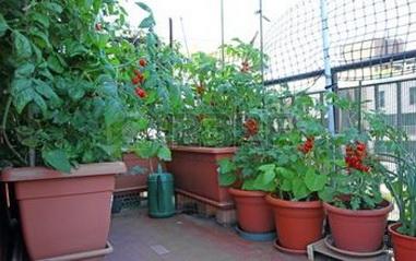 правило ухода за томатами