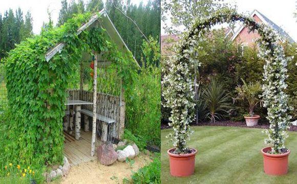 растения для перголы и арки