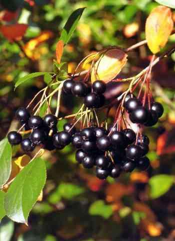 рябина черноплодная арония