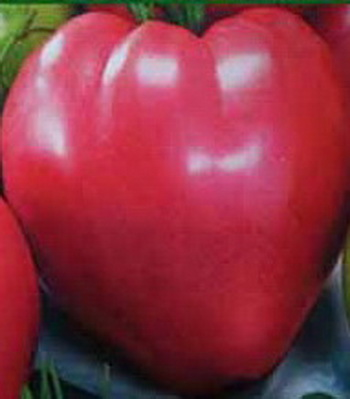 помидор сорт Севрюга