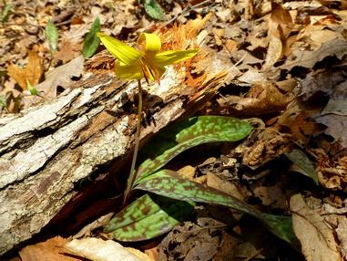 старые листья анемона