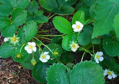 удобрения для клубники весной
