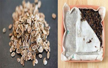 укроп-подготовка к посеву