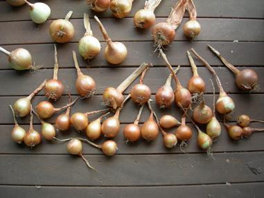 выбор посадочного материала лук