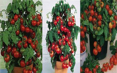 выбор правильных сортов томатов