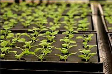 выращивание маттиолы семенами