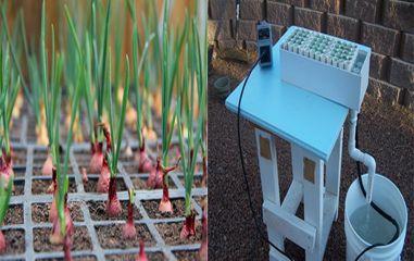 зеленый лук как вырастить на подоконнике