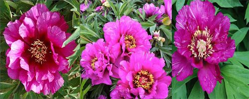 ито пионы Morning Lilac