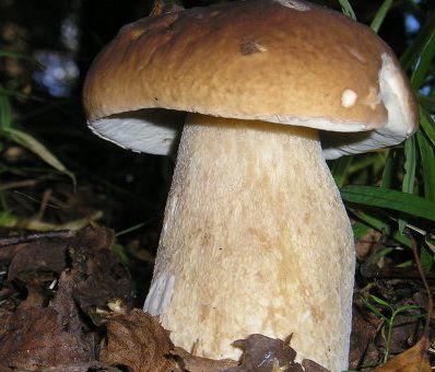 боровик съедобный белый гриб