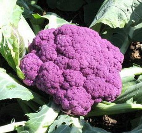 цветная капуста пурпурная