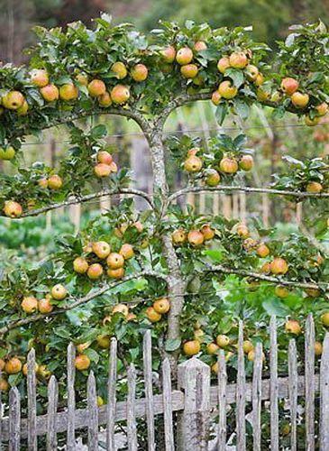 фруктовые деревья вдоль забора