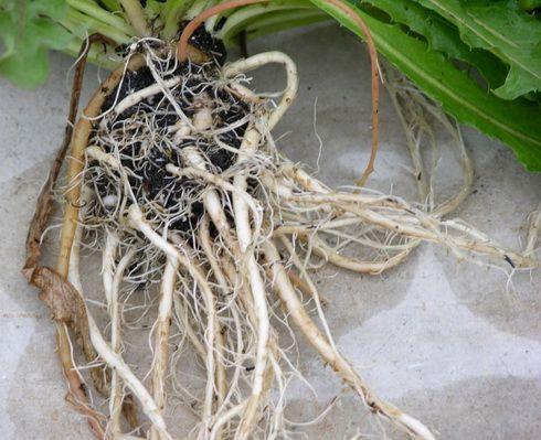 корни одуванчика