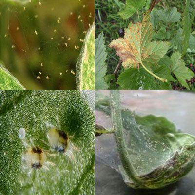 паутинный клещ смородины