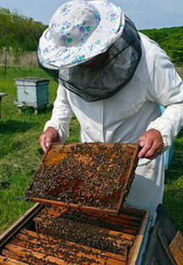 Пчеловоды и клён
