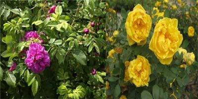 роза шиповник