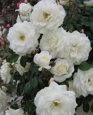 Роза айсберг флорибунда описание и фото
