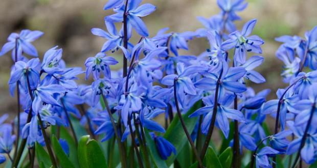 сцилла фото цветов