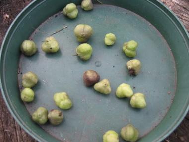 Семена сцилла