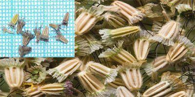 семена скабиозы