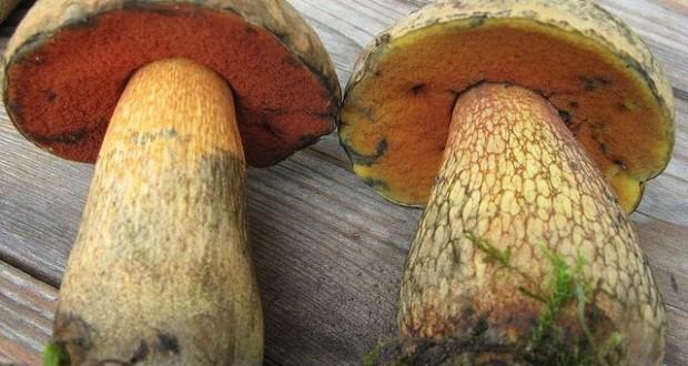 фото гриб желчный гриб описание фото