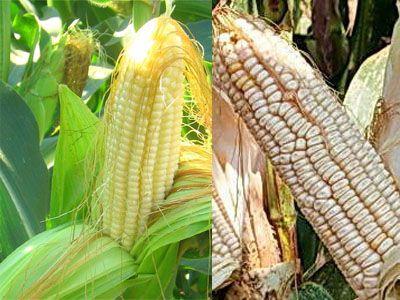 кукуруза белозерная 300