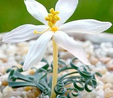 альбука спиральная цветение
