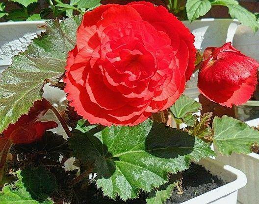 бегония с красными цветами