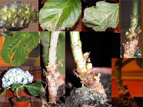 болезни и вредители гортензии