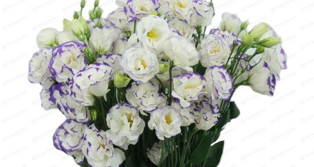 Цветок эстома дома