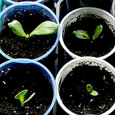 Вырастить семена дельфиниума на рассаду 824